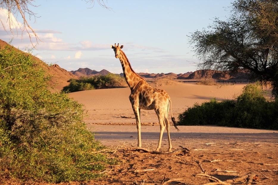 Girafa adaptada ao deserto na região da Skeleton Coast, na Namíbia (Viagem fotográfica pela Namíbia por Carioca NoMundo)