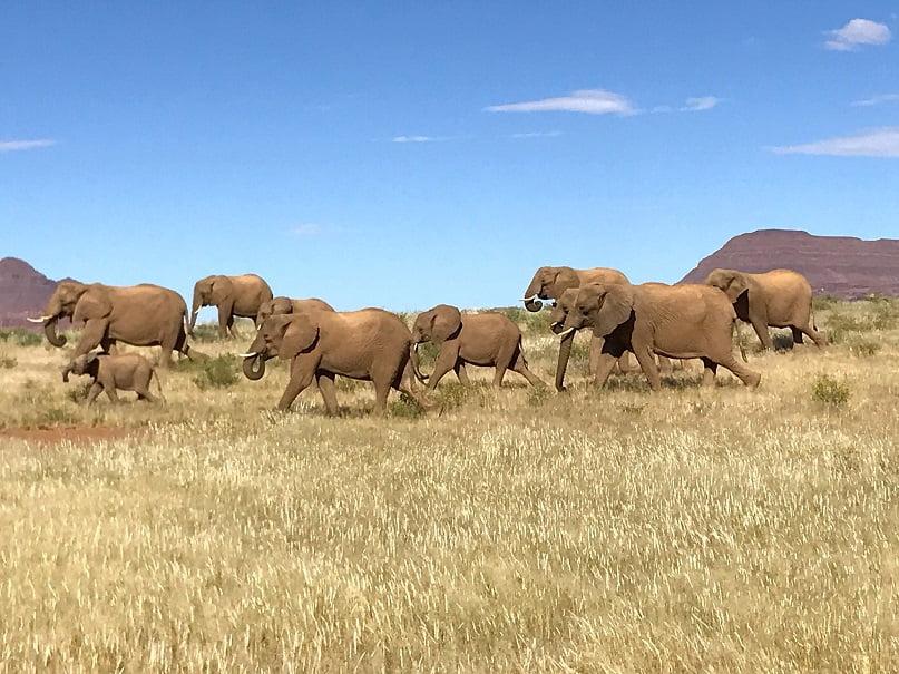 Manada de elefantes adaptados ao deserto na região de Damaraland (Turismo na Namíbia por Carioca NoMundo)