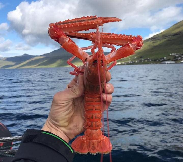 Hora de fazer as reservas para o Noma 2.0: lagostim do mar gelado das Ilhas Feroé, pescado pela equipe do chef René Redzepi