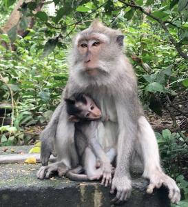 Explorando a Floresta Sagrada dos Macacos de Bali e outras atrações de Ubud, na Indonésia